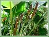 Calathea lutea (Cigar Calathea, Cuban Cigar, Mexican Cigar Plant, Habana Cigar, Pampano)