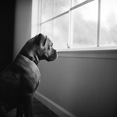 Blad (DowntownRickyBrown) Tags: dog 120 mediumformat puppy windowlight hassy fujineopanacros selfdevelop rolleiflex28d ilfosol3 althoughlookingalotlesslikeapuppyinhisphotosthesedays thevampirelair