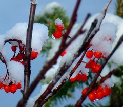 Snowcapped bright red berries. (peggyhr) Tags: blue friends light sky brown white snow canada black green ice closeup grey drops niceshot dof bc bokeh branches redberries wow1 wow2 peggyhr eightmilelake thedigitographer 100commentgroup artofimages mygearandme artwithoutend naturespotofgoldlevel1 thebestshots redgroupno1 yellowgroupno2 bluegroupno4 greengroupno3 p1070509ap cariboominingdistrict