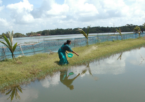 Woman feeding fish, Bangladesh. Photo by WorldFish, 2008