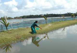 Woman feeding fish, Bangladesh. Photo by WorldFish, 2008
