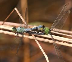 Eastern Pondhawks (DrPhotoMoto) Tags: dragonfly northcarolina mating richmondcounty easternpondhawk