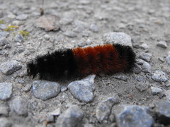Furry Caterpillar (Oreo Cakester) Tags: bug caterpillar