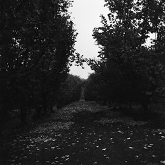 the way in (craigCloutier) Tags: trees france 120 film leaves rolleiflex way holga lomography path farm traditional entrance orchard row journey medium format discovery beginningway