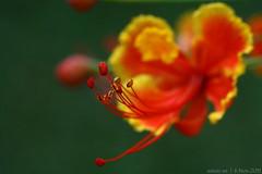 flagpole's flower