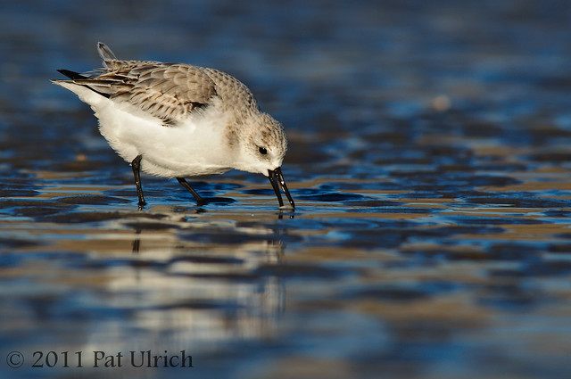 Sanderling picking up the clam
