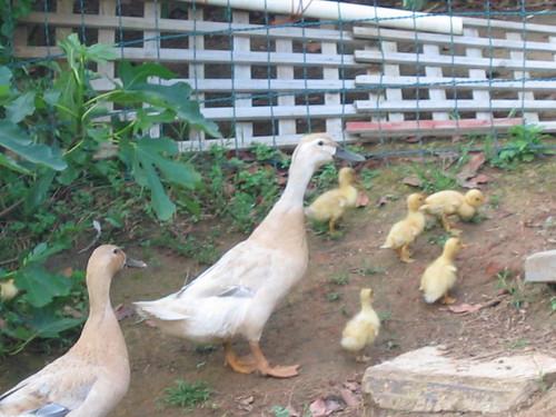 Ducklings 1 week old 2011