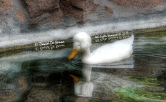 ... a Duck with a Hairstyle (Far & Away (On assigment, mostly off)) Tags: light italy white milan bird texture nature water rock hair duck pond style reflextion
