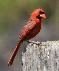 """""""immature male Cardinal"""" (AllHarts) Tags: nature fishisland immaturemalecardinal cadizky pickyourart lakebarkleylodge naturespotofgoldlevel2 stunninganimalsandbirds naturespotofgoldlevel1 naturespotofgoldlevel3 naturespotofgoldsuperstars"""