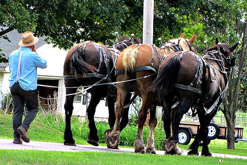 IMG_3054_Amish_Man_Walking_Behind_Draft_Horses.JPG