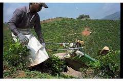 The Tea harvest (Powered) (Redt16s) Tags: tea streetphotography summicron malaysia cameronhighlands everydaylife pahang socialdocumentary teaplantation leicam2 porta160 teapicking 35v1