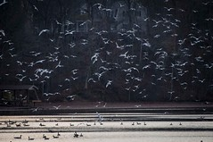 "_DSC5919 Gulls and Geese and Lots of ""Em! (Sally Van Natta) Tags: autumn fall gulls bigcreek coth ringbilledgulls lakedecatur sallyvannatta november2011"