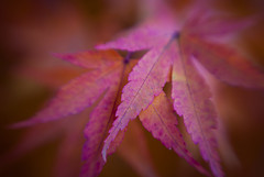 Maple VII (Benjamin Postlewait) Tags: autumn macro lensbaby leaf japanesemaple day34 lensbabymacro 365project japanesemaplechallenge