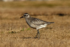 Black-bellied Plover at Smith Point (Mr. T in DC) Tags: newyork bird beach birds animals li wildlife longisland beaches plover fireisland shorebirds shorebird plovers greyplover pluvialissquatarola smithpoint fireislandnationalseashore barrierbeach smithpointbeach smithpointcountypark barrierbeaches blackbelliedploverny