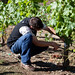 Brent Young checking newly grafted Malbec vines