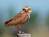 Burrowing Owl (Athene cunicularia) (PeterQQ2009) Tags: brazil birds athenecunicularia burrowingowl