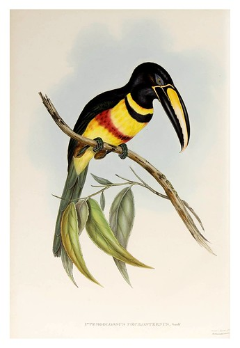 014-Araçari de doble banda-Supplement of the Ramphastidae or family of Toucans Gould John-1855