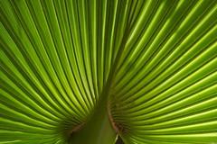 Fan Palm, Leaf series 5207 (Deb Jones1) Tags: trees plants abstract macro green nature beauty leaves canon garden palms outdoors 1 jones leaf flora palm explore deb flickrduel