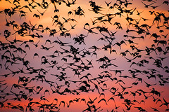 Starling Murmuration (Alan MacKenzie) Tags: sunset england nature birds sussex evening wings brighton dusk wildlife flock flight feathers starling gathering migration markings starlings brightonpier murmuration moot alanmackenzie starlingmoot