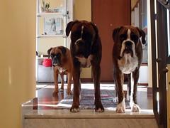 Mimì. Ian, Tyson (deboh76) Tags: dog pet cane boxerdog crew bunch boxer gruppo mucchio canidi patafruttoli boxercrew