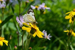 Resting (HikerDude24) Tags: nikon d5100 alberta canada butterfly insect bug flower flowers grass waterton lakes national park nationalpark macro