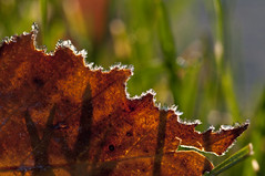 Frosted dinosaur :) (violetflm) Tags: november fall leaves yard leaf frost il glenview d300s 45orless d3t1743