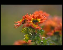 Ray of light (bbic) Tags: orange flower garden romania botanicalgarden chrysanthemum bucharest gradina portocaliu floare crizantema outstandingromanianphotographers