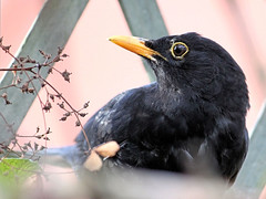 Blackbird Profile (Judy's Wildlife Garden) Tags: dominance maleblackbird warwounds bossbird knightonpowys