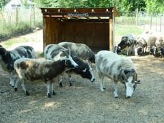 Jacob Sheep at the Broken-O in Ft. Collins, CO (Aldene.Gordon) Tags: jacobsheep ftcollinsco brokenoranch