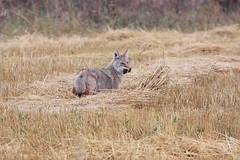 Hunting Coyote (KegRiver) Tags: coyote nature animal wildlife wildanimal