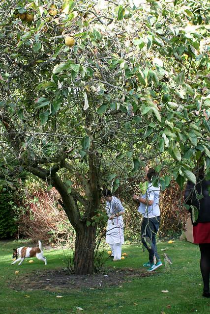 Gathering quinces