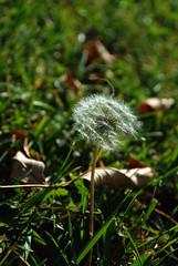 Make a wish! (hannahwillow) Tags: nature dandelion seeds makeawish
