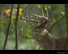 10 Point Buck Up Close (Hamilton Images) Tags: ohio canon mammal october deer toledo buck 500mm whitetaileddeer odocoileusvirginianus 2011 10point 14xteleconverter img8811 5dmarkii