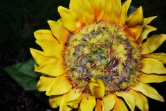 Sunflower (Sol Brimars) Tags: autumn flower macro cemetery yellow iceland lomo colorful edited fake reykjavik plastic sland ecu fakeflower 2011 unnar fossvogskirkjugarur