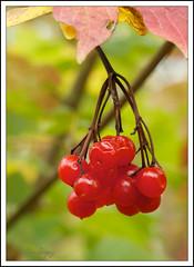 eat me (AppleCrypt) Tags: england plants tree nature berries cheshire wildlife 500mm sooc stevegregory wiggisland borderfx mygearandme ringexcellence applecrypt flickrstruereflection1 wwwflickrcomphotosapplecrypt