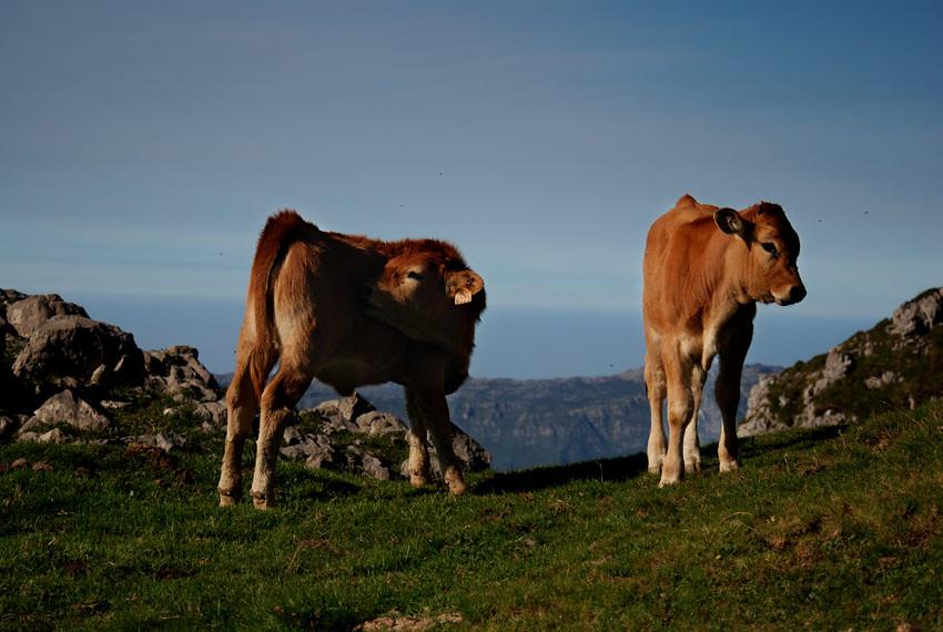 Asturiana de montaña