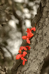 Fall Red (Barry Haynes) Tags: red plant tree fall leaves sepia leaf october autum vine trunk processed foiliage colorselection payacom