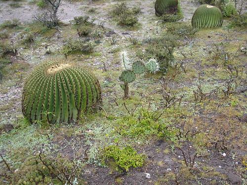 Echinocactus platyacanthus 2