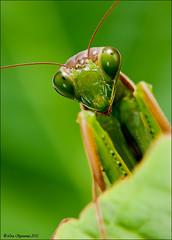 DSC3168 (Lino Sgaravizzi ) Tags: macro verde natura mantide insetti valtiberina mygearandme mygearandmepremium mygearandmebronze mygearandmesilver mygearandmegold mygearandmeplatinum