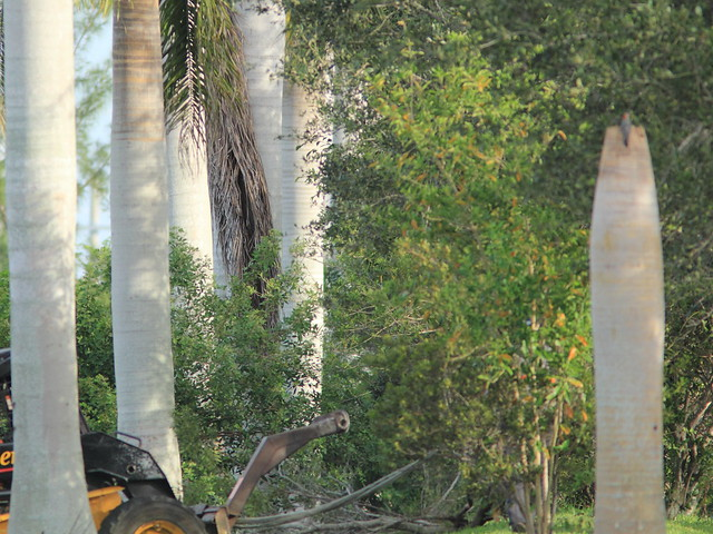 Woodpecker and bobcat 20111025