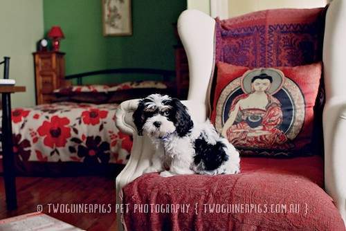 Bernard the King the cavamalt 3 month old puppy by twoguineapigs pet photography.