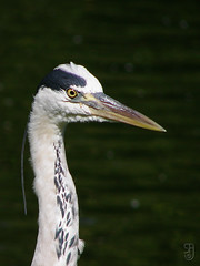 Grey Heron (Ardea cinerea)-09268.jpg (Stein Arne Jensen. THANKS for all the views!) Tags: england bird london ardeacinerea pajaro fugl oiseau regentspark vogel herons  ardeidae lintu garareal greyheron reiher ciconiiformes blauwereiger    garzareal hroncendr harmaahaikara ciconiformes sonydsch5 ardeidas grhegre schreitvgel  graureihercinerea  steinarnejensen  hegrefamilien storkefugler tsn174782  higir