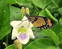 harmony (bindubaba) Tags: africa flora uganda fantasticnature awesomeblossoms flickrstruereflection1
