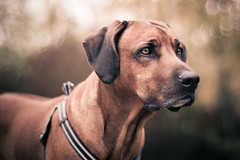 (BambaataaRR) Tags: camera portrait blur lens aperture focus open pentax bokeh cosina wide large sharp 55mm mf 5bestdogs manual ridgeback rhodesianridgeback k5 rhodesian f12 tomioka revuenon revuenon55mmf12 f12