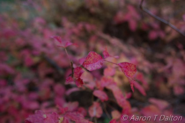 Poison Oak Up Close