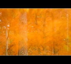 Autumn Painting (cjdolfin) Tags: longexposure autumn blur colour nature leaves golden scotland movement branch wind trunk breeze blackisle rossshire cjdolfin