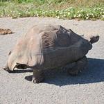 "Leopard Tortoise <a style=""margin-left:10px; font-size:0.8em;"" href=""http://www.flickr.com/photos/14315427@N00/6298709189/"" target=""_blank"">@flickr</a>"