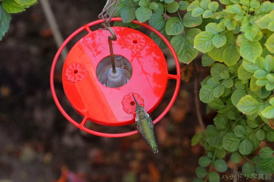 Allen's Anna's Hybrid Hummingbird 110211