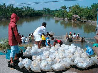 Harvesting and packing juvenile Milkfish to send to grow out facilities, Philippines. Photo by Westly R. Rosario, 2006