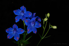 Impossible Blue Delphinium (Fort Photo) Tags: flowers blue flower macro nature floral closeup flora nikon indigo 105 delphinium d700 n1c1